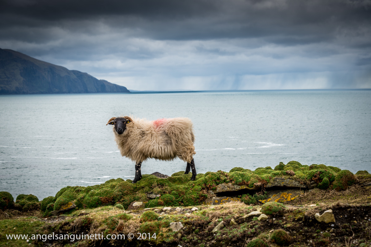 Sheep on the Cliff, Achill Island