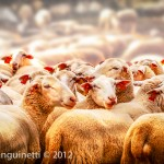 Moutons, Rocamadour