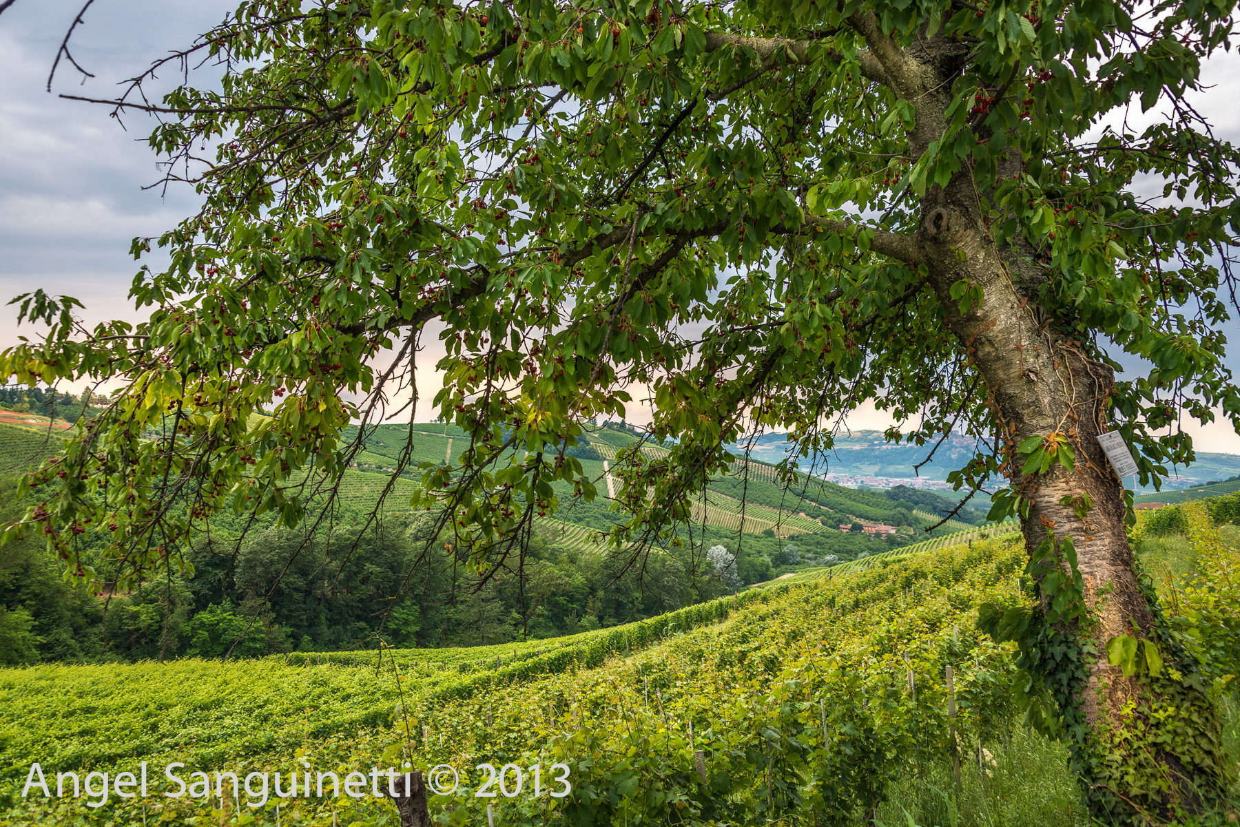 barbaresco vignes-4